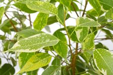 Free Ficus Leaves With Drops Of Water Royalty Free Stock Photos - 17766158