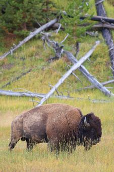 Free Large Bison In Grassland Royalty Free Stock Photography - 17767207