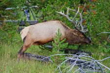Free Huge Bull Elk Stock Photos - 17767243