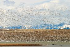 Free Flock Of Snow Geese Taking Off Royalty Free Stock Photography - 17767337