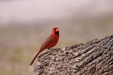 Free Northern Cardinal Stock Image - 17769181