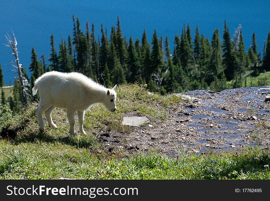 Young Mountain Goat on cliff