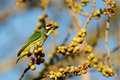 Free Coppersmith Barbet Royalty Free Stock Image - 17771206