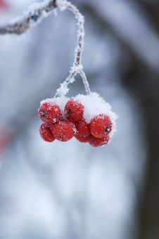Free Frozen Mountain Ash On A Branch Stock Photography - 17770812