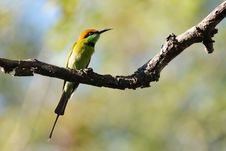 Free Green Bee Eater Bird Stock Photography - 17771172