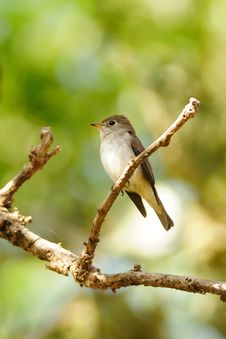 Free Asian Brown Flycatcher Royalty Free Stock Image - 17771226