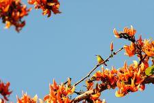 Free Olive Backed Sunbird Royalty Free Stock Photos - 17771308