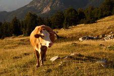 Free Cow Stock Photo - 17772280