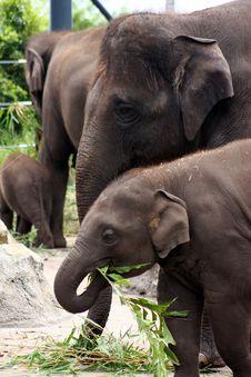 Free Hungry Elephants. Royalty Free Stock Photos - 17772548