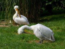 Free Two Pelicans Stock Photos - 17772753