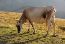 Free Cow Stock Photography - 17773292