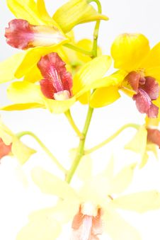 Free Orchids Flower Royalty Free Stock Photos - 17774118