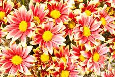 Free Chrysanthemum Flower Royalty Free Stock Photo - 17774325
