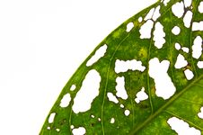 Free Leaves Caused By Insects To Eat Royalty Free Stock Images - 17775549