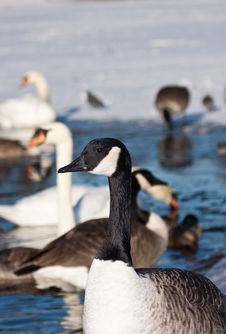 Free Canada Goose Royalty Free Stock Photography - 17776757
