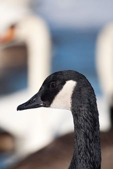 Free Goose Royalty Free Stock Images - 17776779