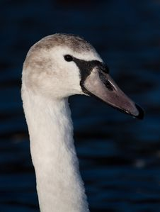 Free A Large Goose Royalty Free Stock Photo - 17776805