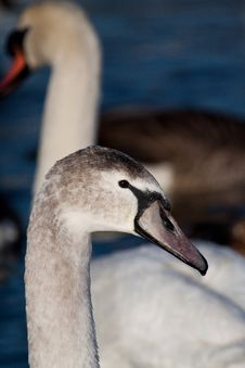 Free Cygnet Stock Photo - 17776830