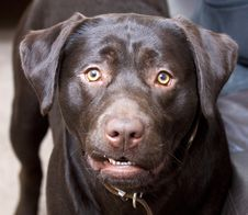 Free Labrador Royalty Free Stock Image - 17777086