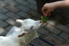 Free Feeding Sheep Royalty Free Stock Photography - 17777567