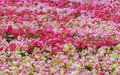 Free Colorful Flowers Royalty Free Stock Photo - 17781975