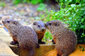 Free Baby Groundhogs Royalty Free Stock Image - 17786026