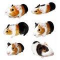 Free Guinea Pig Royalty Free Stock Photo - 17789875