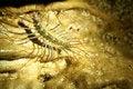 Free Close Up Of A Cave Centipede Stock Photos - 17789883
