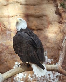 Free Bald Eagle Roost Royalty Free Stock Image - 17781966