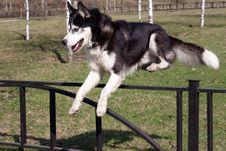 Jumping Husky Stock Photo