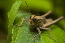 Free Grasshopper Stock Photo - 17783840