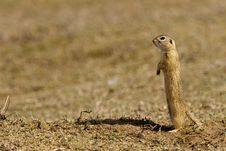 Free European Ground Squirrel Stock Photo - 17785840