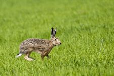 Hare Running On Green Field Stock Photography