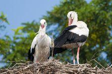 Free White Storks Pair Stock Photo - 17785980