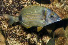 Free Two Banded Sea Bream (Diplodus Vulgaris) Stock Image - 17786051