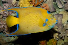 Free Queen Angelfish (Holacanthus Ciliaris) Royalty Free Stock Photos - 17786128