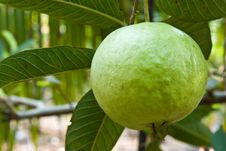 Free Guava On Tree Royalty Free Stock Photo - 17786385