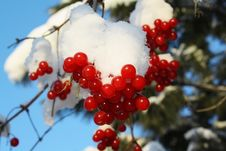 Free Branch Of A Guelder-rose With Berries Stock Images - 17786444