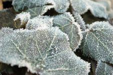 Frozen Ivy Stock Photos