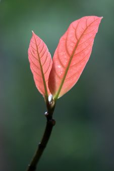 New Life-Red Leaf Stock Image