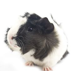 Free Guinea Pig Stock Images - 17787824