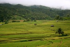 Scenery Of Golden Rice Field