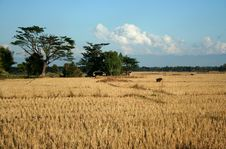 Rice Fields After Harvest Royalty Free Stock Photo
