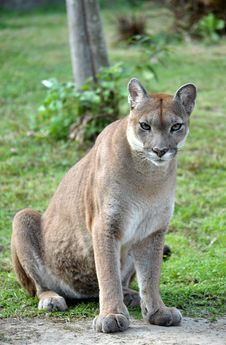 Free The Cougar Stock Photography - 17789852