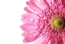 Free Closeup Of Gerbera Flower Stock Photo - 17789860