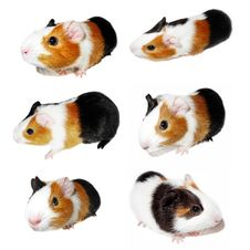 Free Guinea Pig Royalty Free Stock Photo - 17789875