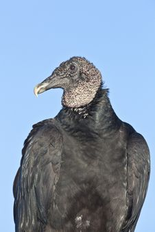 Free Black Vulture (Coragyps Atratus) Royalty Free Stock Image - 17789896