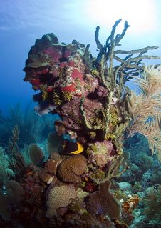 Free Coral Reef - Rock Beauty Fish Royalty Free Stock Photography - 17789947