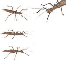 Free Stick Insect Stock Photo - 17790800