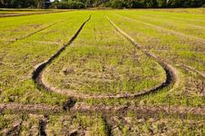 Free Rice Field,Thailand Royalty Free Stock Photography - 17791307
